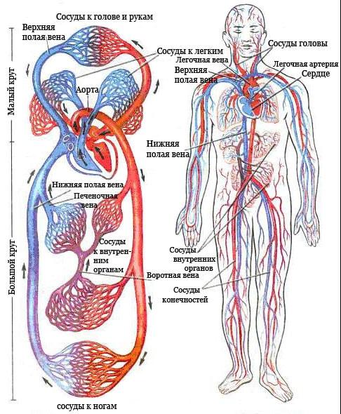 какие нормы холестерина в крови показатели